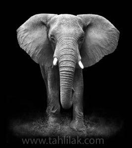 جرات کنید و فیل سفید...