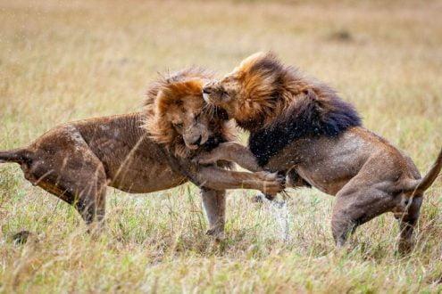 قلمرو و رقابت شیرها