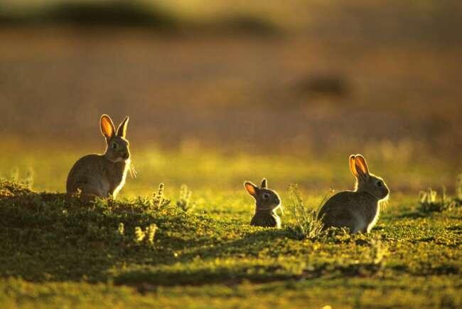 دنیای خرگوش ها قسمت سوم - چرخه زندگی خرگوش - بلوغ جنسی خرگوش - درباره خرگوش