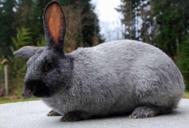 بلوغ جنسی خرگوش
