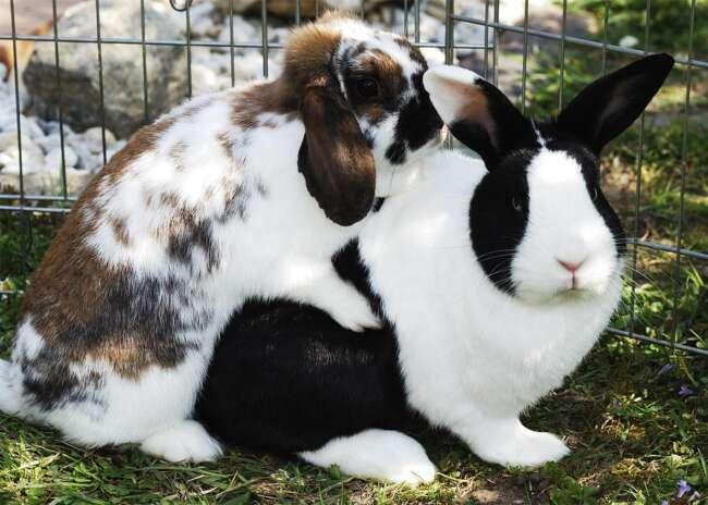 پذیرش و آمیزش در خرگوشها