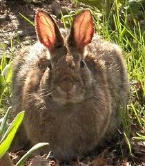 زایش خرگوش