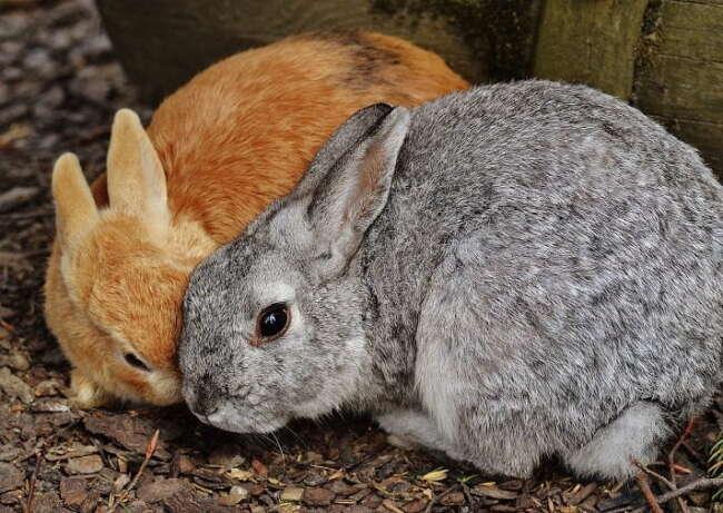 رفتارهای جنسی خرگوش ها