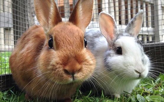 دنیای خرگوش ها - فیزیولوژی خرگوش ها - درباره خرگوش ها -