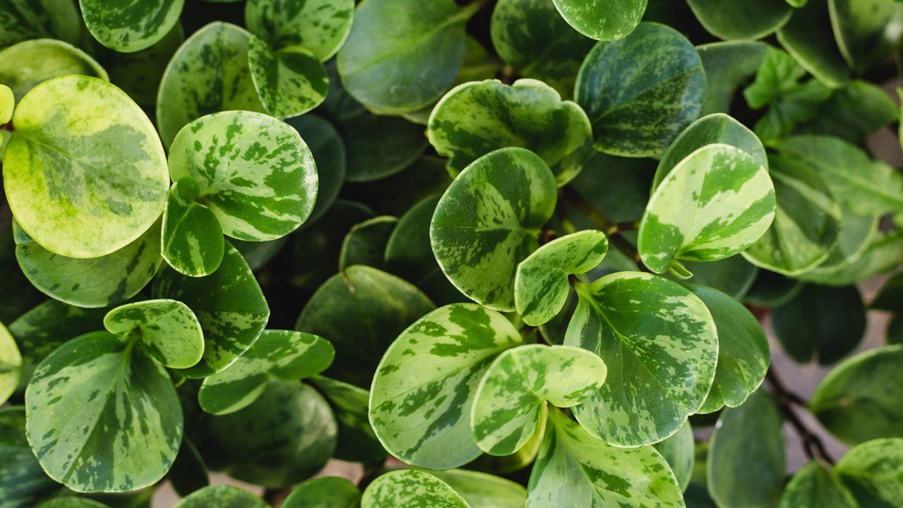 peperomia obtusifolia caracteristicas cuidados