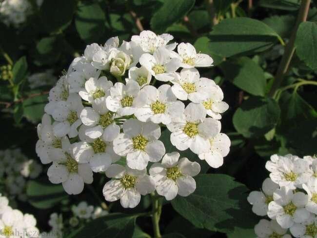 گلهای باغچه ای - اسپیره گلی