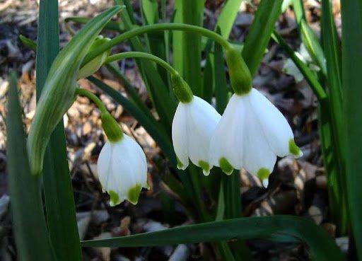 دانه برفی - گلهای مناسب برای باغچه