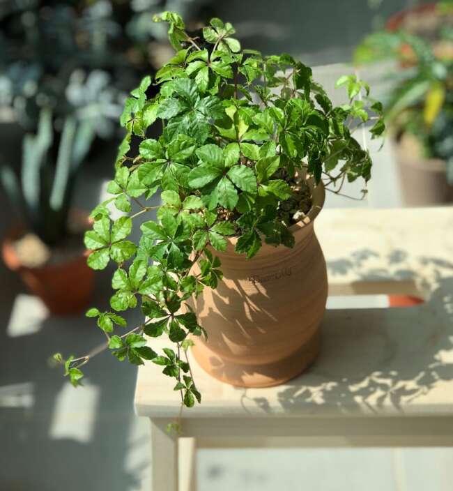 گل رونده / گیاهان بالا رونده آپارتمانی