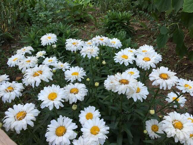 مروارید شستا - گل مناسب برای باغچه