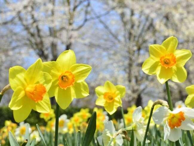 نرگس زرد - گل مناسب باغچه