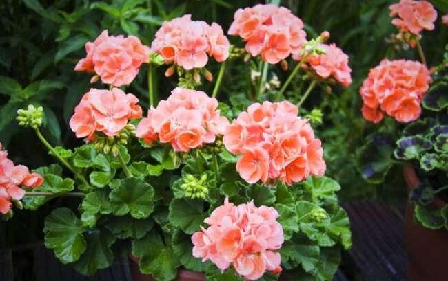 شمعدانی - گلهای مناسب باغچه