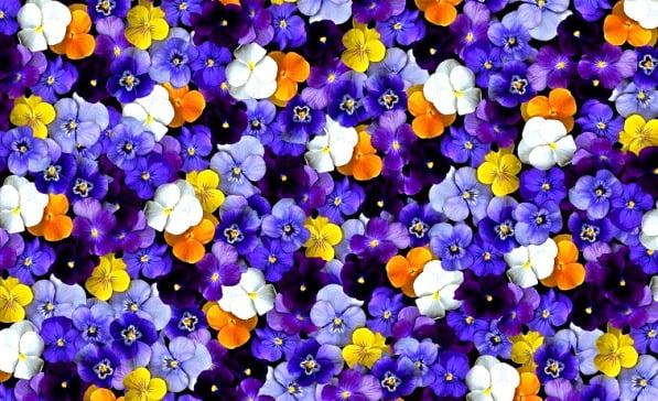 گل بنفشه - گل مناسب باغچه