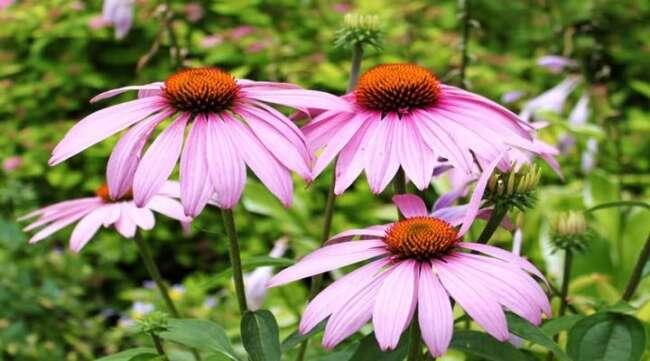 گل مخروطی