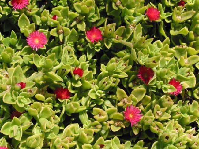 گل ناز - گل مناسب باغچه