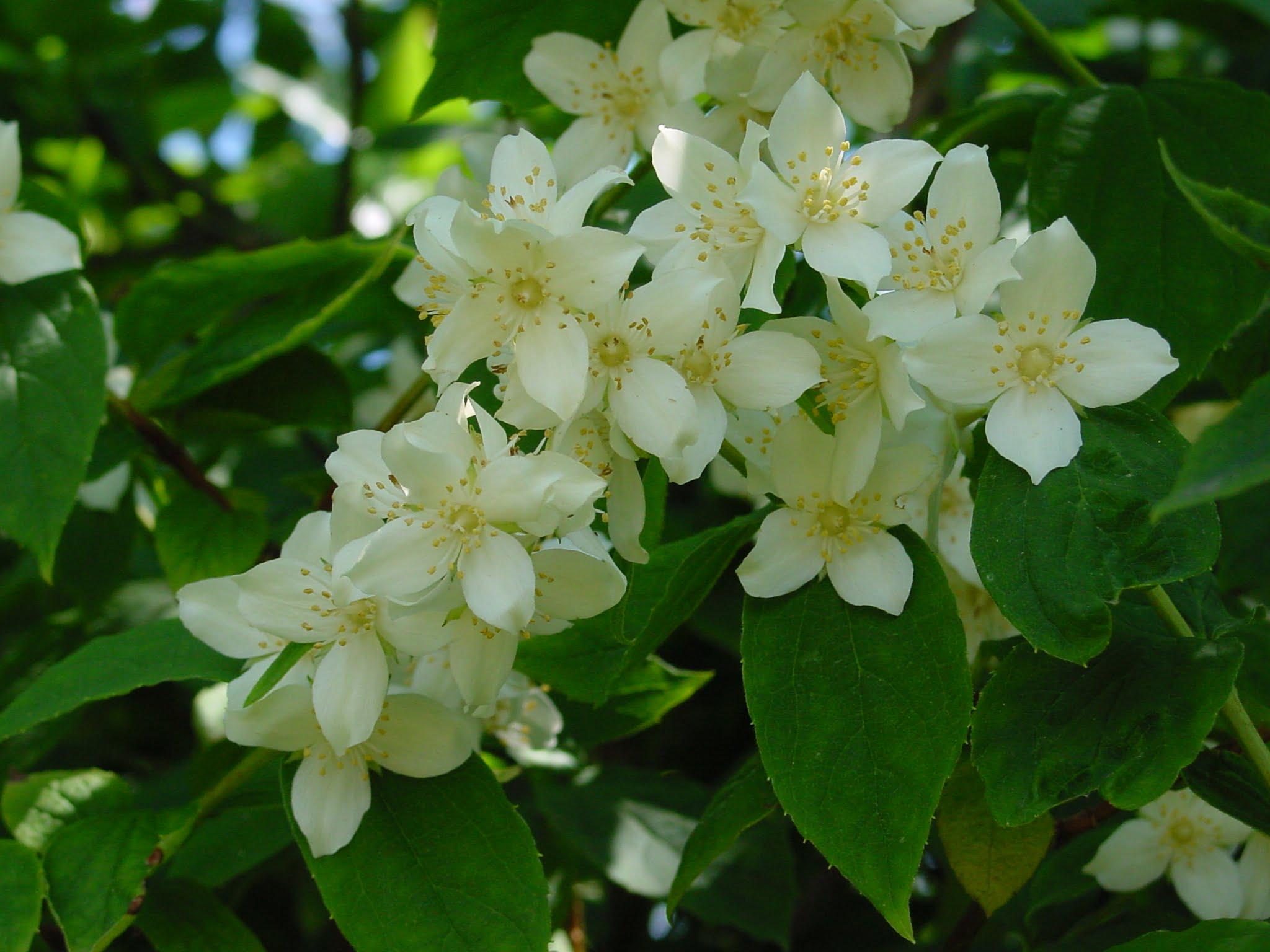 یاس - گل مناسب باغچه