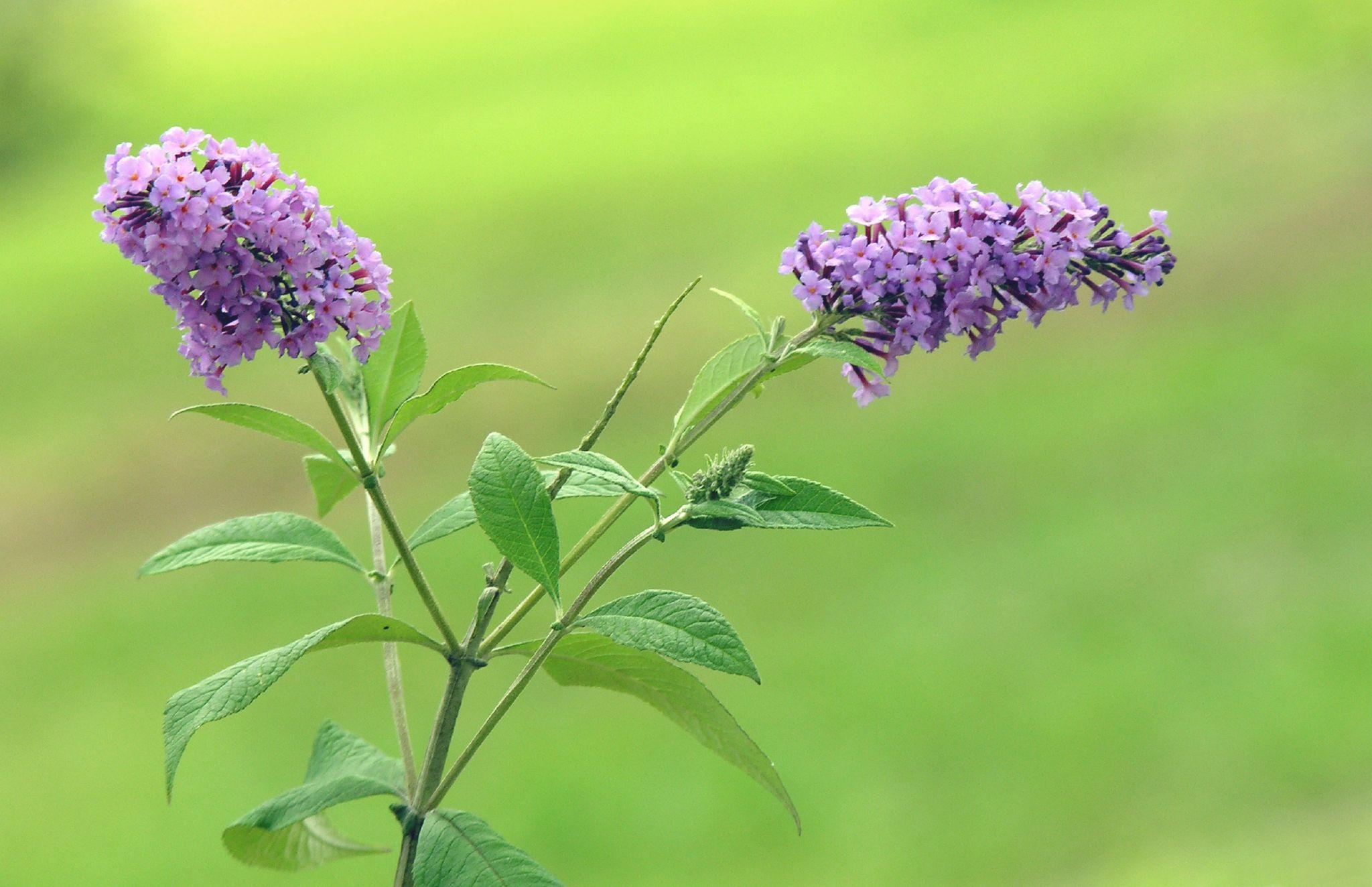 دم موشی قفایی - گلهای مناسب برای باغچه