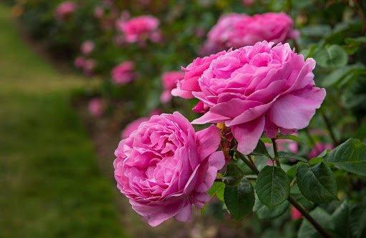 گلهای باغچه ای چندساله