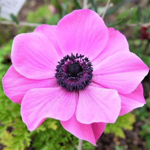 گلهای باغچه ای - شقایق نعمانی
