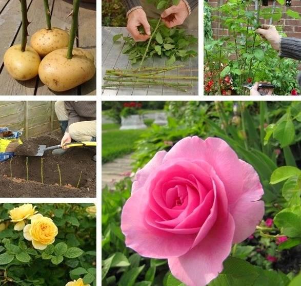 آموزش کاشت گل رز با سیب زمینی / آموزش قلمه زدن گل رز با سیب زمینی