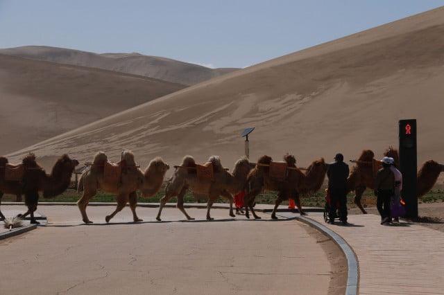 اولین چراغ راهنمایی و رانندگی مخصوص شترها در چین