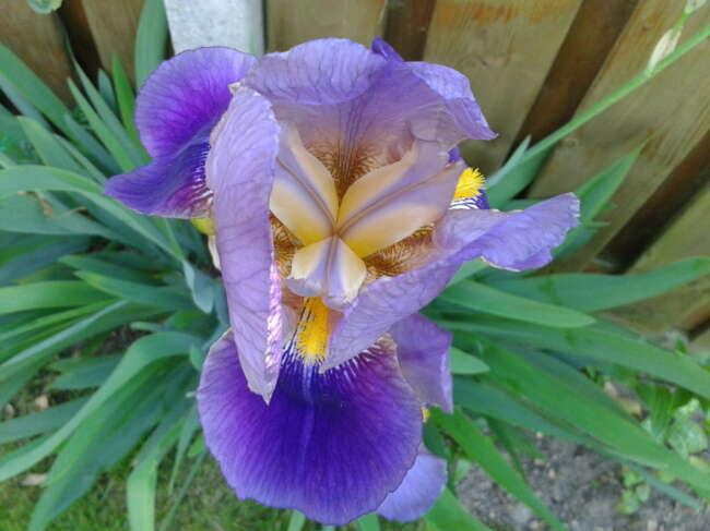 انواع گل زنبق