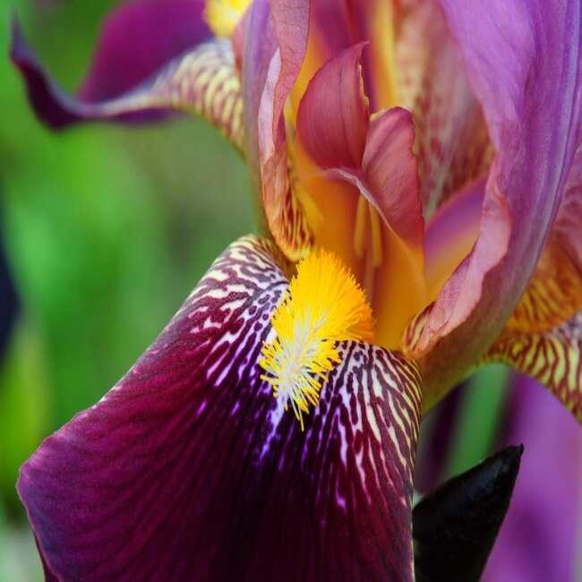 انواع گل رنبق