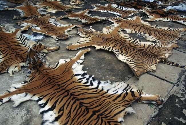 انقراض ببر مازندران