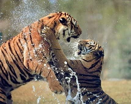 17 fight tiger2