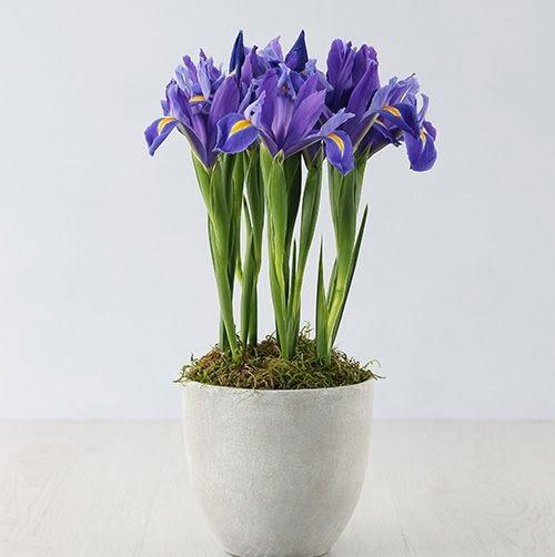 نگهداری گل زنبق