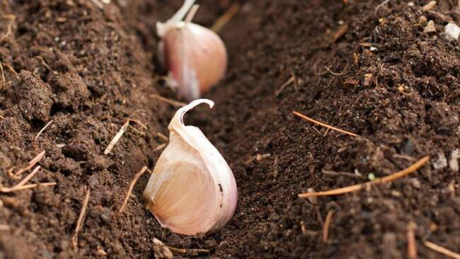 آموزش کاشت سیر در خانه / کاشت سیر در گلدان