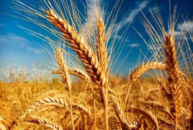 صادرات گندم برای غیر دولتی ها ممنوع است