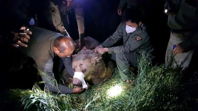 نجات خرس قهوه ای در کرمانشاه