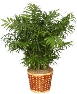 گیاه شامادورا / نخل شامادورا