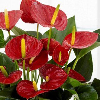 گل آنتوریوم و شرایط نگهداری