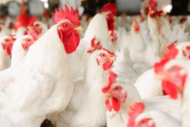 استفاده از هورمون در مرغ ها