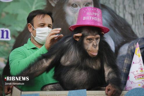 ماده شامپانزه چهار ساله ارم به نام «باران» امشب به یک مرکز بینالمللی نگهداری از شامپانزهها در کشور کنیا منتقل میشود تا در کنار گروه هم سن خود زندگی کند.