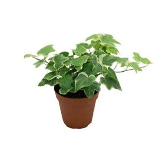 پاپیتال / گیاه عشقه