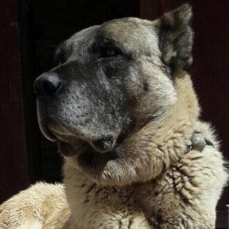 خصوصیات ظاهری سگ سرابی