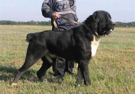 خصوصیات رفتاری سگ سرابی