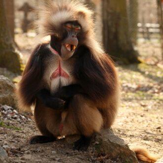 میمون های بابون گلادا