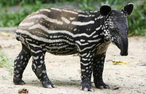 5 1 tapir