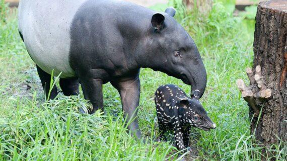 تاپیر پستانداری شبیه خوک