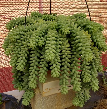 گیاه سدوم مورگانیانوم