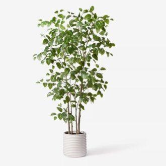 گیاه ناتال