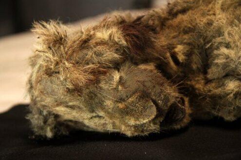 کشف اجساد ۲ توله شیر عصر یخبندان که موهایشان نیز حفظ شده است