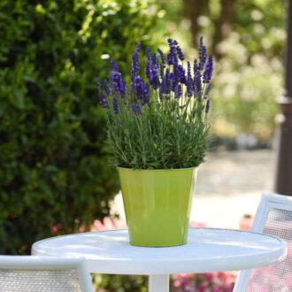 گیاه اسطوخودوس / گل اسطوخودوس