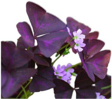 گیاه اگزالیس / گیاه شبدر