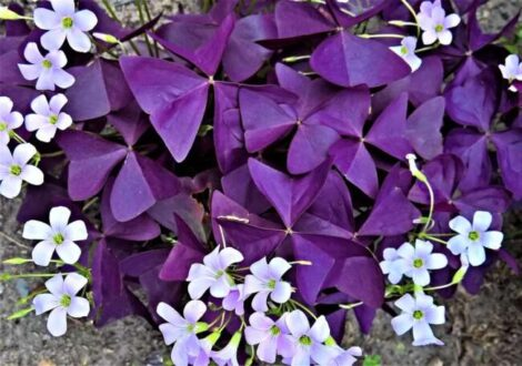 گل اکسالیس / گیاه اگزالیس