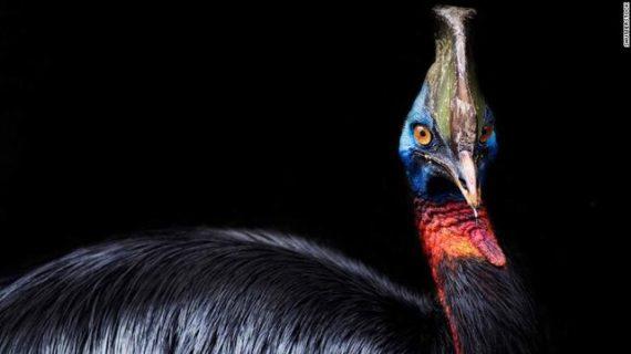 خطرناک ترین پرنده جهان به دست انسان اهلی شده است
