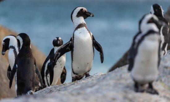 مرگ ۶۳ پنگوئن در معرض انقراض بر اثر زنبور گزیدگی